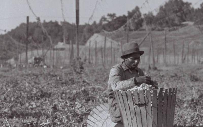 Unidentified man sorts hops near Wohler Road, Healdsburg, California, circa 1926. SCL Photo No. 40566